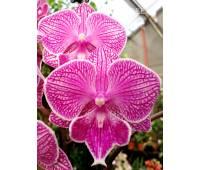 Phalaenopsis PH 259 Big Lip