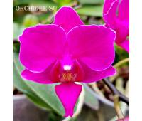 Phalaenopsis PH 261 Deco