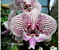 Phalaenopsis PH 265 Venus Kizz Big Lip