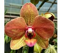 Phalaenopsis PH 266