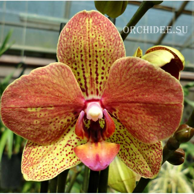 Phalaenopsis PH 266