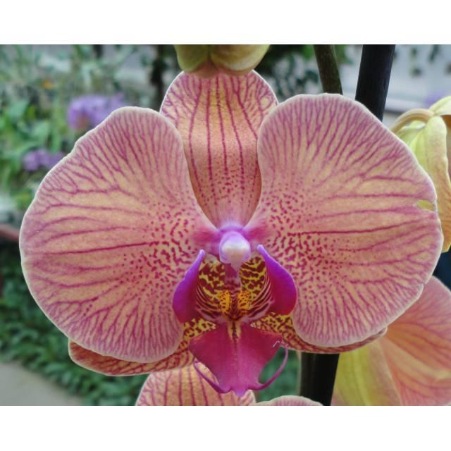 Phalaenopsis PH 268