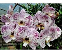Phalaenopsis PH 271 Taida Pearl Taida Pink Lady