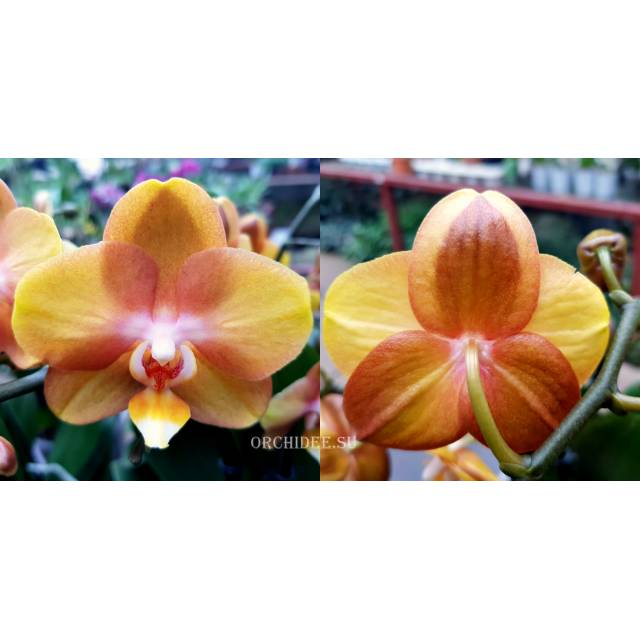 Phalaenopsis PH 280 Las Vegas