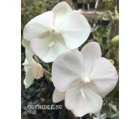 Phalaenopsis PH 291 Big Lip Big Foot White