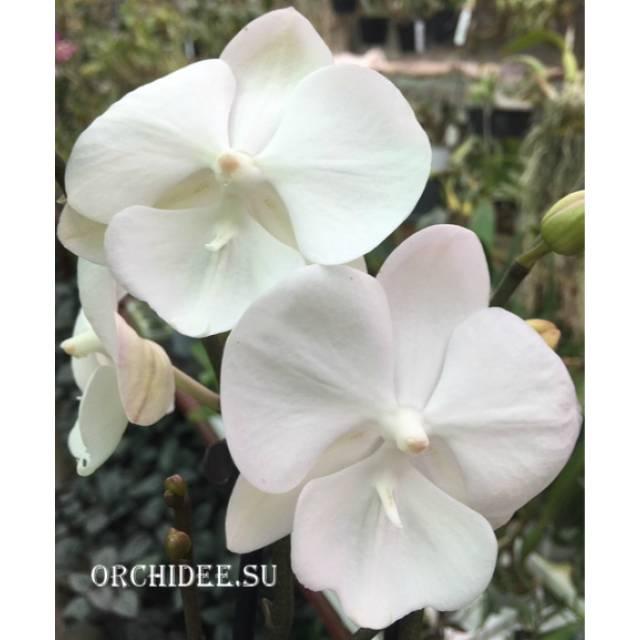 Phalaenopsis PH 291 Big Lip Big Foot White