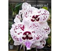 Phalaenopsis PH 293 Big Lip