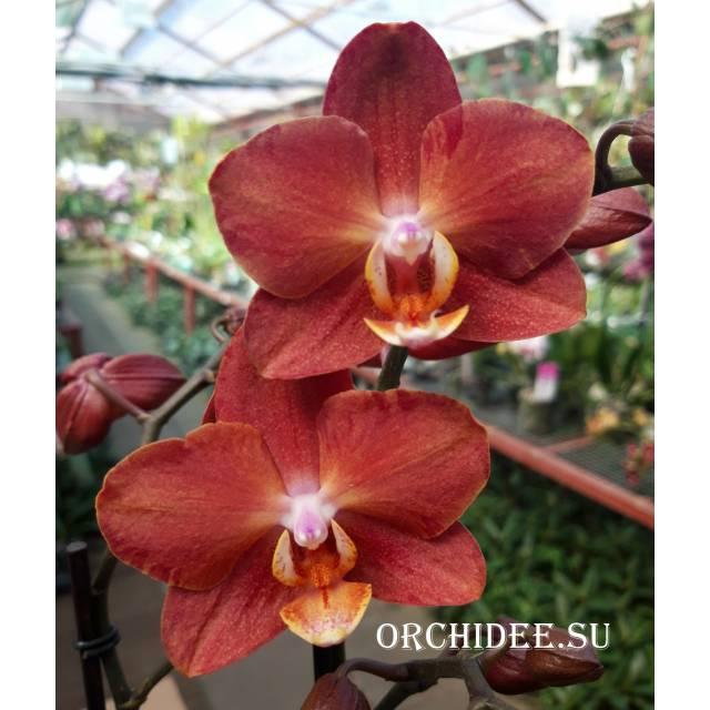 Phalaenopsis PH 294 Horizon