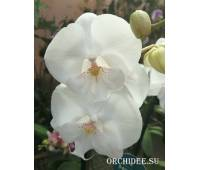Phalaenopsis PH 297 Big Lip