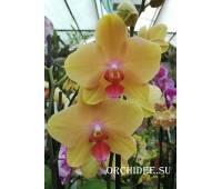 Phalaenopsis PH 298