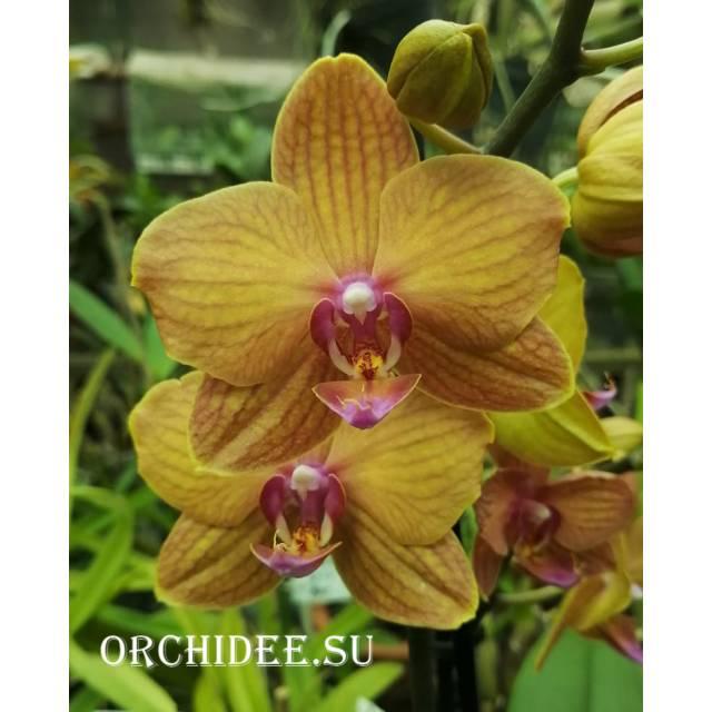 Phalaenopsis PH 299 Piacenza
