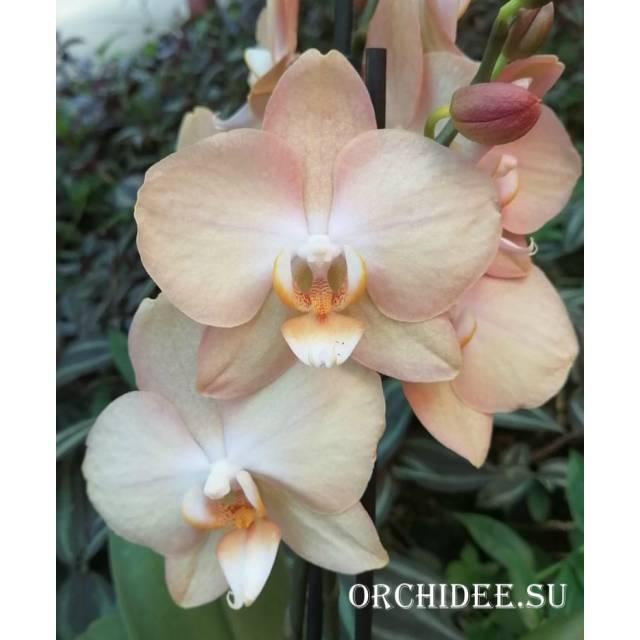 Phalaenopsis PH 300 Latina