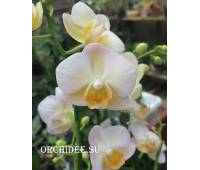 Phalaenopsis PH 301