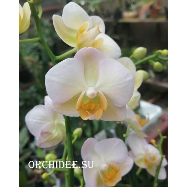 Phalaenopsis PH 301