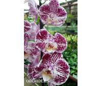 Phalaenopsis PH 303