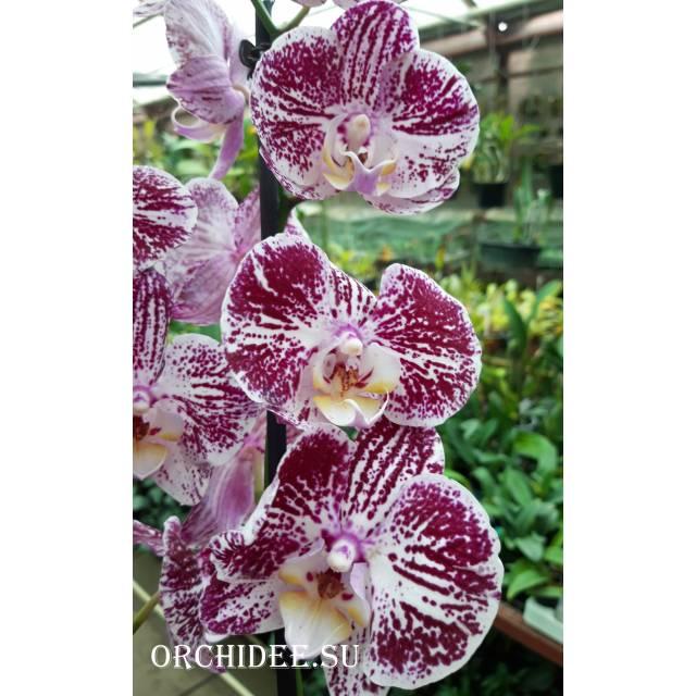 Phalaenopsis PH 303