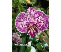 Phalaenopsis PH 305 Big Lip