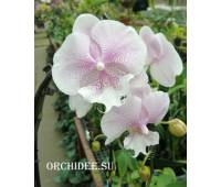 Phalaenopsis PH 306 Queens Kizz Big Lip
