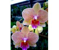 Phalaenopsis PH 310 BIg Lip
