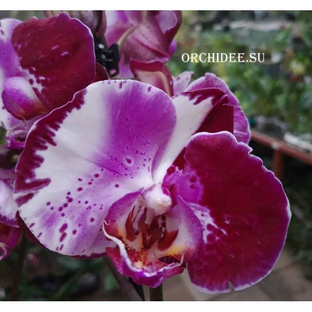 Phalaenopsis PH 317 (mutant)