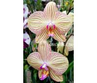 Phalaenopsis PH 010 Torino