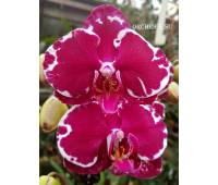 Phalaenopsis PH 030 Heart Breaker