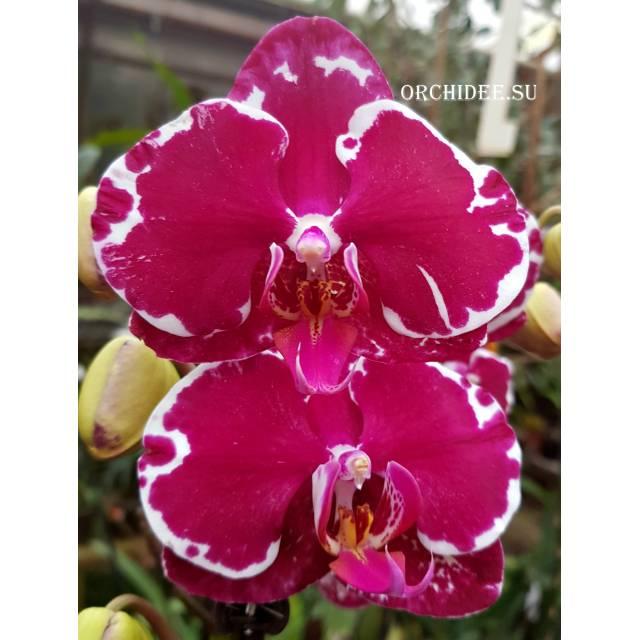 Phalaenopsis PH 030 Heart Breaker