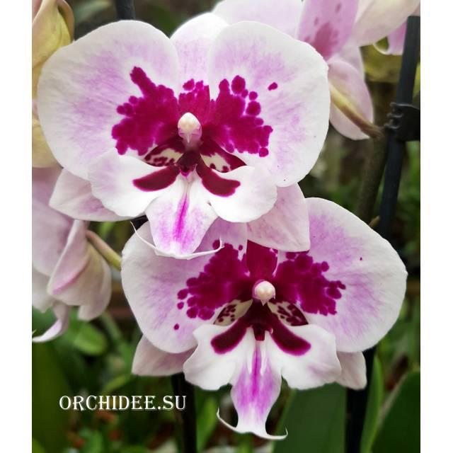 Phalaenopsis PH 038 Big Lip Aladdin