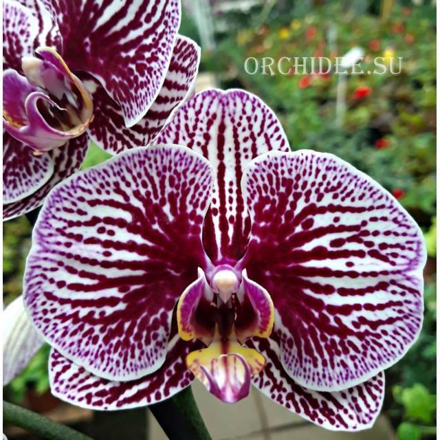 Phalaenopsis PH 042