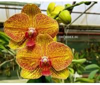 Phalaenopsis PH 056 KV Smile