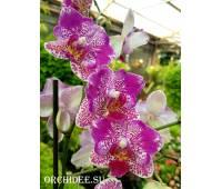 Phalaenopsis PH 070 peloric