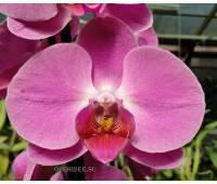 Phalaenopsis PH 080 Tigris