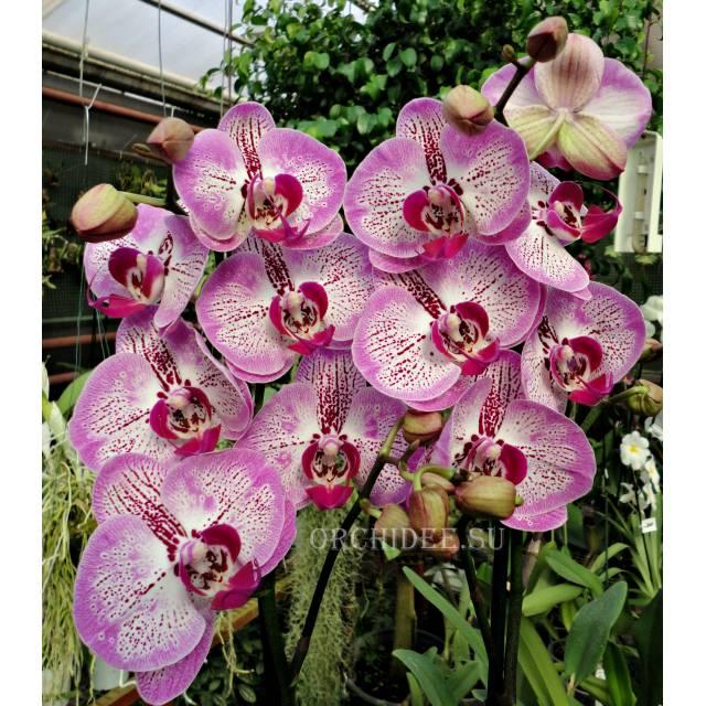 Phalaenopsis PH 100 Pinko Melody