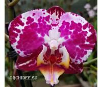 Phalaenopsis PH 129 Blanka