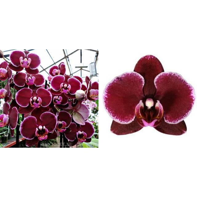 Phalaenopsis PH 150 Montpellier