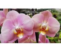 Phalaenopsis PH 210 Sylvia