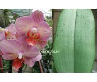 Phalaenopsis PH 220 'Salmion'