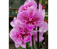 Phalaenopsis PH 254 Big Lip 'Cheeky Kizz'