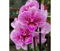 Phalaenopsis PH 254 Big Lip 'Cheeky Kizz'
