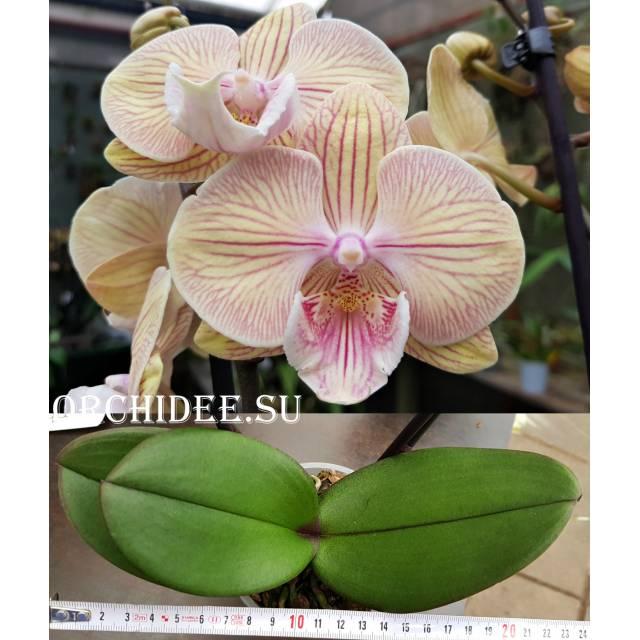 Phalaenopsis PH 256 Big Lip 'JC Stars Shining'