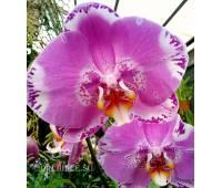 Phalaenopsis PH 269 Ox King x Fuller's Purple Queen AM/AOS