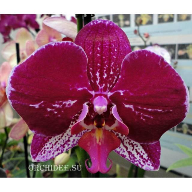 Phalaenopsis PH 272 Goodhope