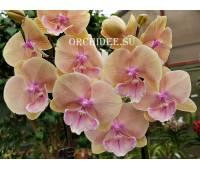 Phalaenopsis PH 275 Big Lip