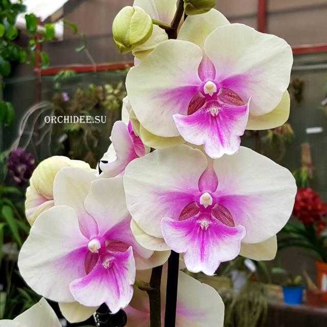 Phalaenopsis PH 276 Big Lip