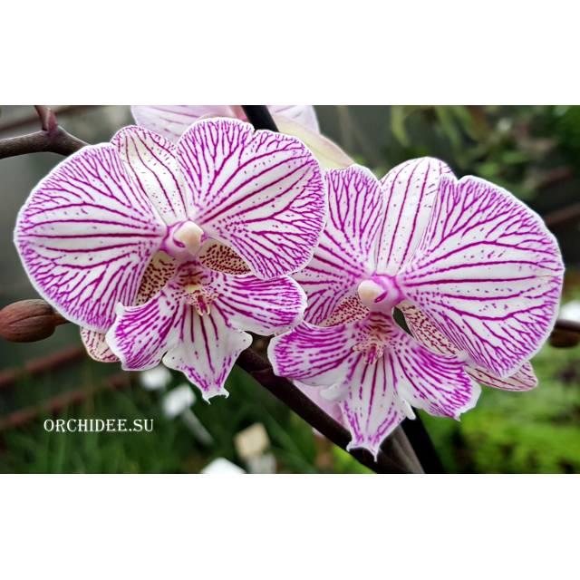 Phalaenopsis PH 278 Big Lip Champion Royal Masque
