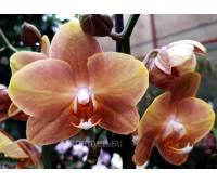 Phalaenopsis PH 279 Brion
