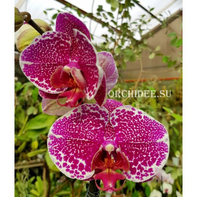 Phalaenopsis PH 286 Leopard