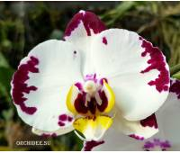 Phalaenopsis PH 287