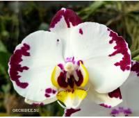 Phalaenopsis PH 287