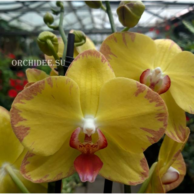Phalaenopsis PH 288 Ox Golden Lottery